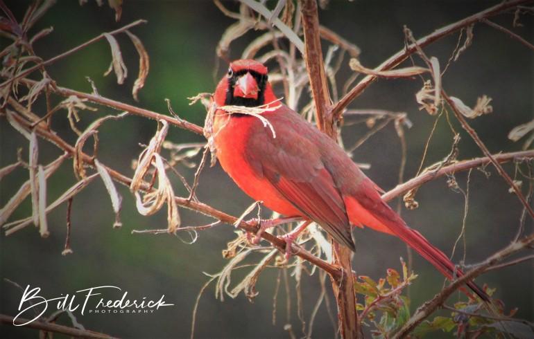cardinal in profile