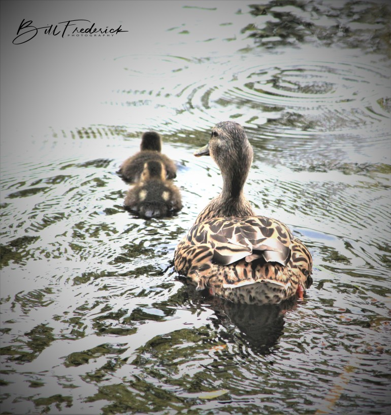 mama duck and babies copy