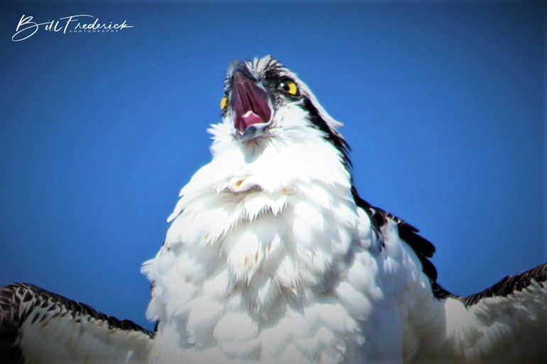 osprey yelling with sign - Copy