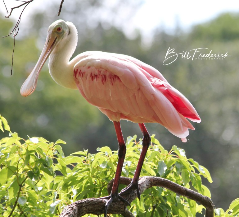 spoonbill alone with sign
