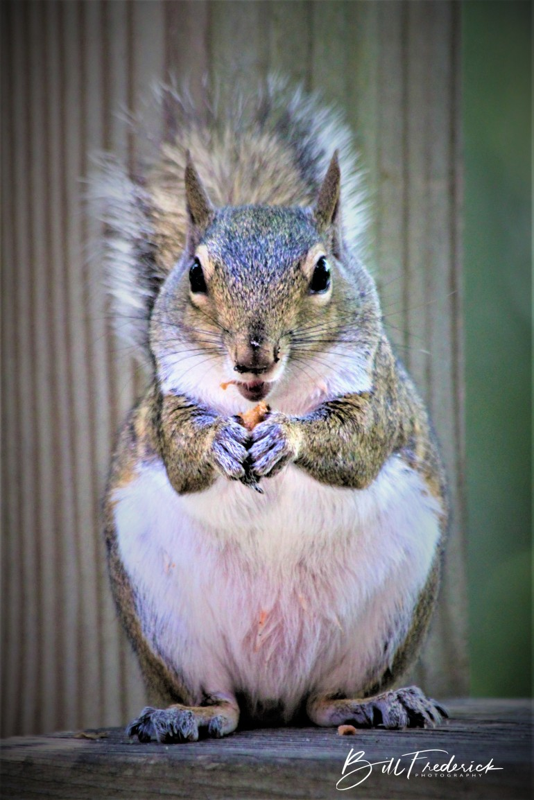 a obese squirrel with sign