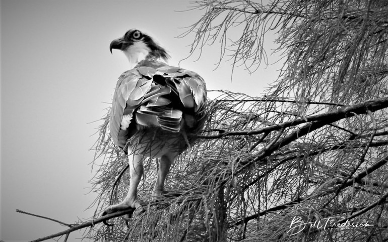 a osprey in a tree with sign