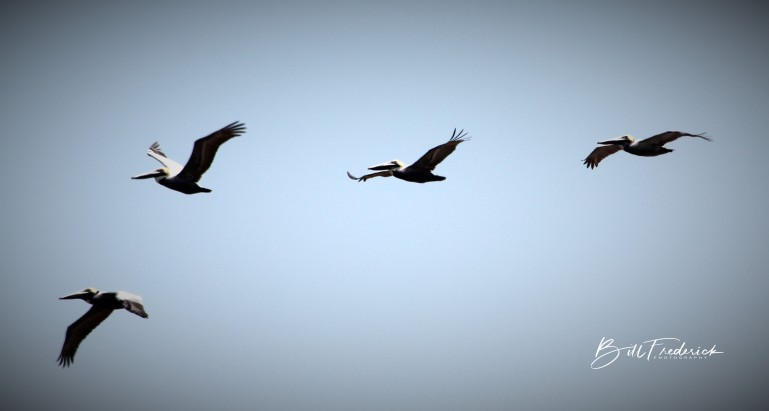 pelicans in flight with sign