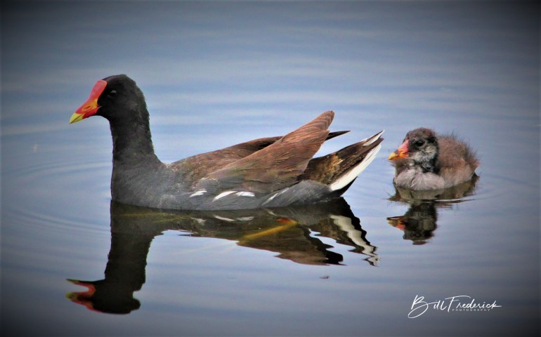 a moorhen and baby 3 with sign