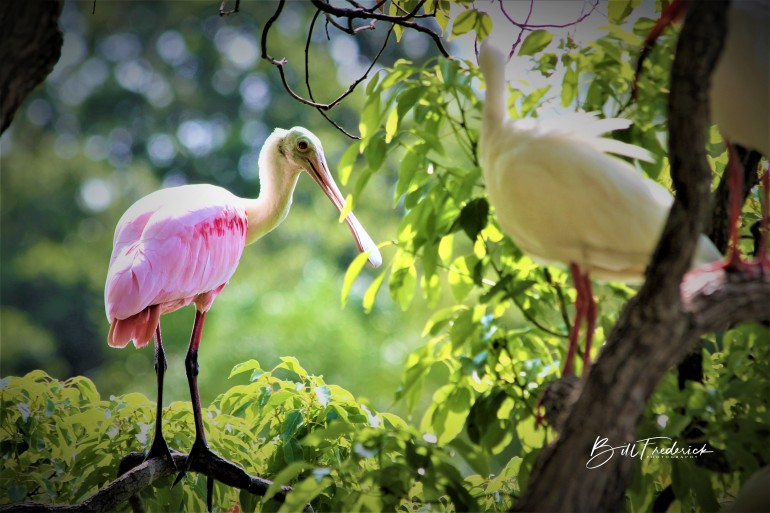 a spoonbill with ibises with sign