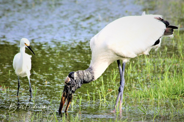 a woodstork and friend eating with sign