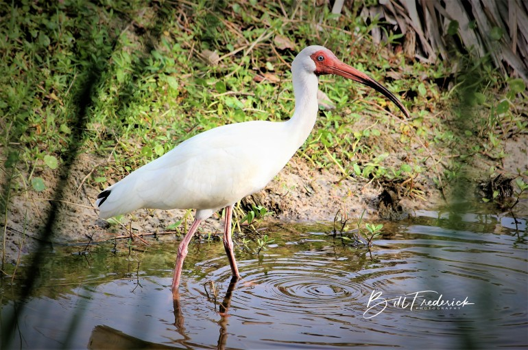 white ibis with sign